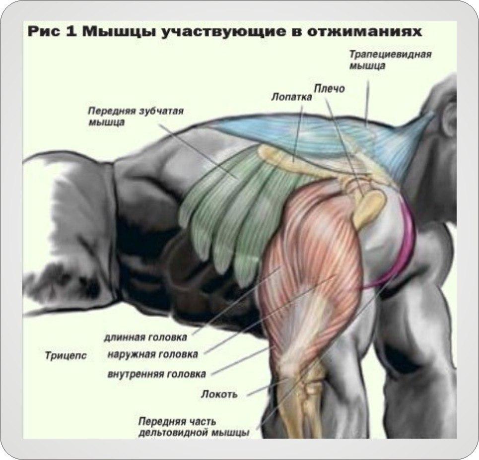 рисунок где указанны какие мышцы качаются при отжимании