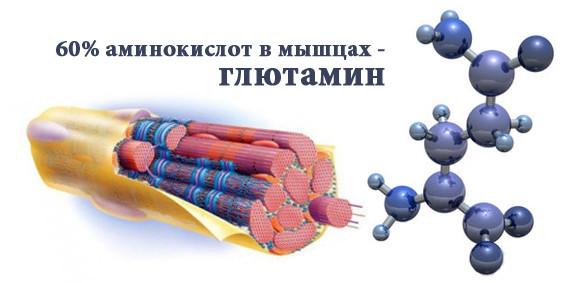 Глутаминовая кислота в бодибилдинге 60 процентов